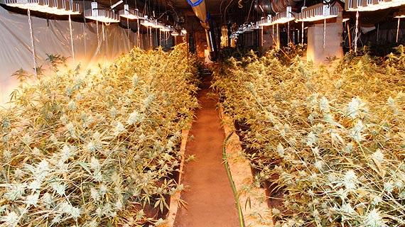 Narkotyki warte milion złotych – policjanci zlikwidowali nielegalną uprawę