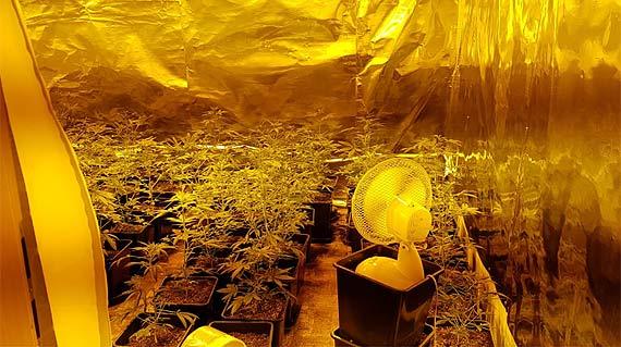 Kryminalni z Gryfic zlikwidowali plantację marihuany