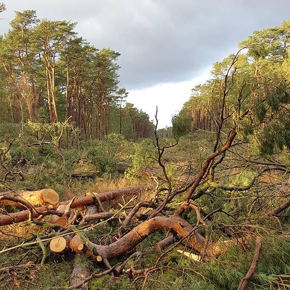 Czytelniczka: Wycinają stare drzewa bez opamiętania. Zobacz film!